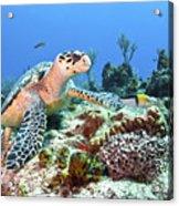Hawksbill Turtle Feeding On Sponge Acrylic Print by Karen Doody