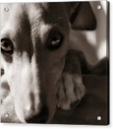 Heart You Italian Greyhound Acrylic Print