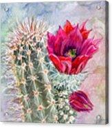 Hedgehog Cactus Acrylic Print