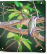 Hummingbird Found In Wild Nature On Sunny Day Acrylic Print