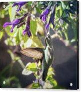 Hummingbird Heaven  Acrylic Print