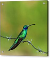 Hummingbird On Barbed Wire Acrylic Print
