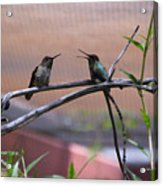 2 Hummingbirds Acrylic Print