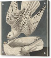 Iceland Or Jer Falcon Acrylic Print