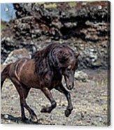 Icelandic Black Stallion, Iceland Acrylic Print