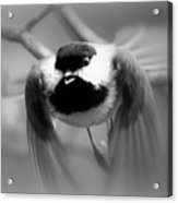 Img_0001 - Carolina Chickadee Acrylic Print