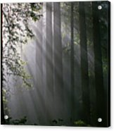 In The California Redwood Forest. Acrylic Print by Ulrich Burkhalter
