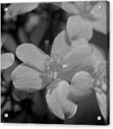 Jatropha Blossoms Painted Bw Acrylic Print