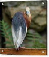 Javan Pond Heron At Zoo Berlin Acrylic Print