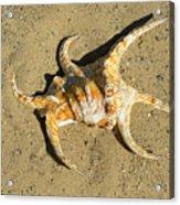 Lambis Arthritica Spider Conch Acrylic Print