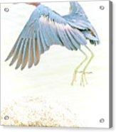 Little Blue Heron In Flight Acrylic Print