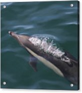 Long-beaked Common Dolphins In Monterey Bay 2015 Acrylic Print