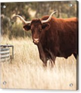 Longhorn Cow In The Paddock Acrylic Print