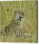 Lovely Leopard Acrylic Print
