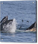 Lunge-feeding Humpback Whales Acrylic Print
