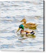 Male And Female Ducks Acrylic Print