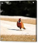 Male Ring-necked Pheasant Acrylic Print