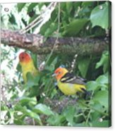 2 Male Western Tanagers Acrylic Print