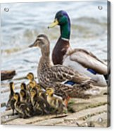 Mallard Family Photograph By Jan M Holden