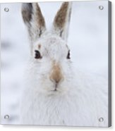Mountain Hare In The Snow - Lepus Timidus  #3 Acrylic Print