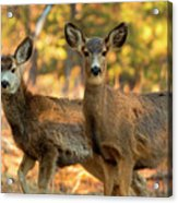 Mule Deer In The Woods Acrylic Print