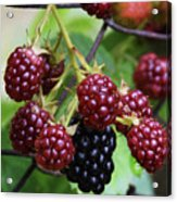 My Blackberries Acrylic Print