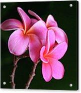Na Lei Pua Melia Aloha He Ala Nei E Puia Mai Nei Pink Plumeria Acrylic Print