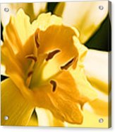 10553 Narcissus Superstar - Flower 080  Acrylic Print