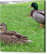 New Zealand - Pair Of Mallard Duck Acrylic Print
