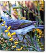 Noisy Miner In Oz Acrylic Print
