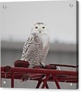 Snowy Owl 9470 Acrylic Print