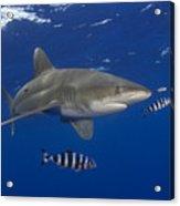Oceanic Whitetip Shark Acrylic Print