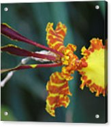 Orchid Expression 3892 Acrylic Print