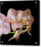 Orchid Phalaenopsis Flower Acrylic Print