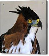 Ornate Hawk-eagle Acrylic Print