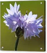 Pale Blue Bachelor Button From The Double Ball Mix Acrylic Print