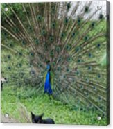 2 Peacocks And A Black Pussy Cat Acrylic Print