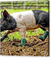 Pig Collection Acrylic Print