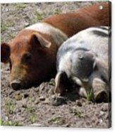 Pigs Acrylic Print