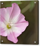Pink Wildflower Acrylic Print