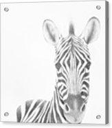 Plains Zebra Acrylic Print