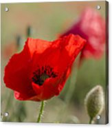 Poppies In Field In Spring Acrylic Print