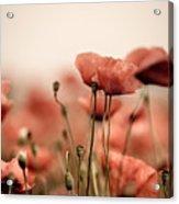 Poppy Dream Acrylic Print