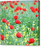 Poppy Flowers Meadow Spring Season Acrylic Print