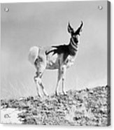 Prong-horn Antelope Acrylic Print