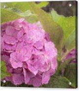 Purple Hydrangea At Rainy Garden In June, Japan Acrylic Print