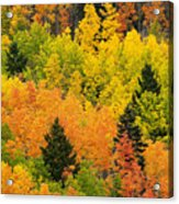 Quaking Aspen And Ponderosa Pine Trees Acrylic Print by Ralph Lee Hopkins