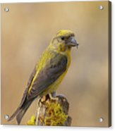 Red Crossbill Acrylic Print