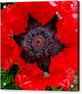 Red Poppy Photograph Acrylic Print