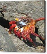Red Rock Crab Acrylic Print